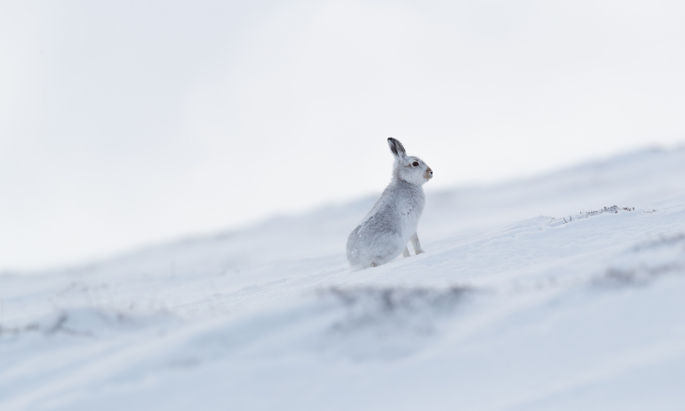 White Mountain Hare (British Wildlife in Winter)